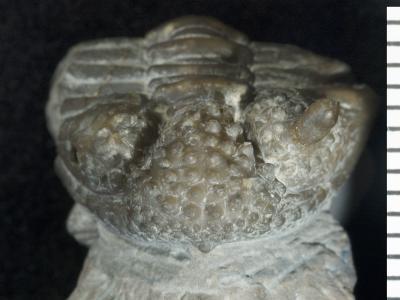 Encrinurus ruhnuensis Männil, 1978, GIT 177-36