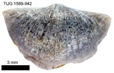 Sowerbyella (Viruella) liliifera Öpik, 1930, TUG 1589-942
