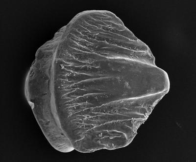 Acanthodiformes