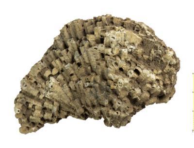Paleofavosites alveolaris, TUG 2-771