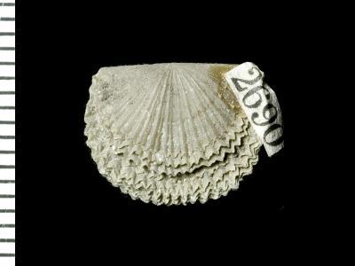 Panderina tetragona (Pander, 1830), GIT 125-40