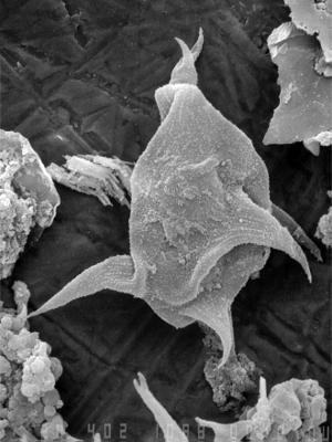 Micrhystridium punctatum Uutela et Tynni, 1991, GIT 344-183