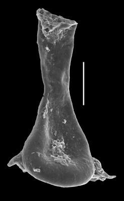 <i><i>Plectochitina magna</i> | </i><br />Grötlingbo 1 borehole, Gotland, 347.65 m, Adavere Stage ( 688-53)
