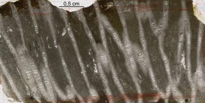 Catenipora elegans (Fischer-Benzon, 1871), GIT 94-42