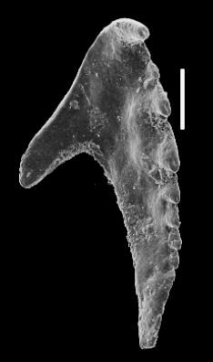 <i>Ramphoprion cf. deflexus (Eller, 1942)</i><br />Valga 10 borehole, 338.20 m, Pirgu Stage