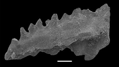 Aphelognathus sp., GIT 551-8