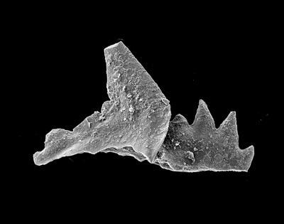 Phragmodus polonicus Dzik, 1978, GIT 449-36