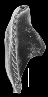 <i>Oenonites varsoviensis (Kielan-Jaworowska, 1966)</i><br />Orjaku borehole, 122.55 m, Rakvere Stage