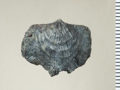 Eospirigerina hillistensis Rubel, 1970, GIT 130-105