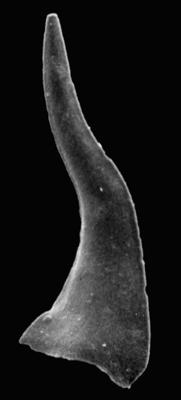 Eoconodontus notchpeakensis (Miller, 1969), GIT 233-9