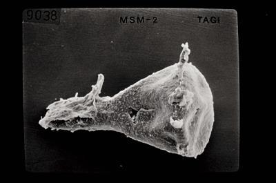 <i><i>Ancyrochitina</i> | Ancyrochitina sp. (d)</i><br />Ruhnu 500 borehole, 344.50 m, Jaagarahu Stage ( 754-661)