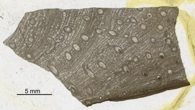 Syringopora affabilis Klaamann, 1962, GIT 90-58