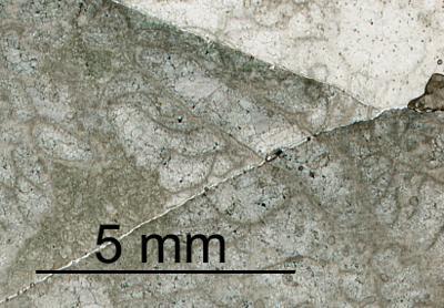 Cornulites aff. celatus Dixon, 2010, GIT 520-192-1