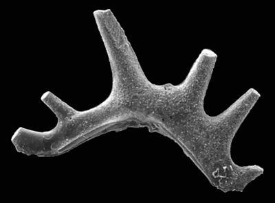 Ctenognathodus jeppssoni Viira et Einasto, 2003, GIT 371-6