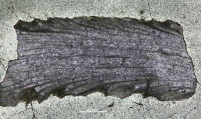 Eridotrypa aedilis (Eichwald,1855) , GIT 537-49