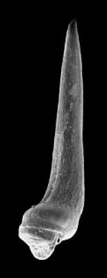 Semiacontiodus cornuformis (Sergeeva, 1963), GIT 342-93