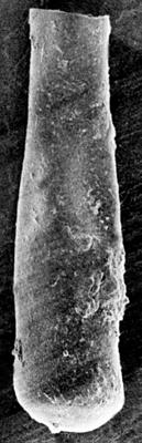 <i><i>Conochitina</i> | Conochitina aff. pachycephala Eisenack, 1964</i><br />Ruhnu 500 borehole, 388.65 m, Jaagarahu Stage ( 272-113)