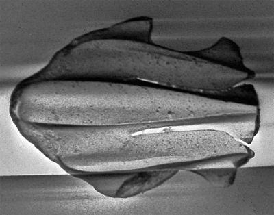 Goniporus alatus (Gross, 1947), GIT 232-285