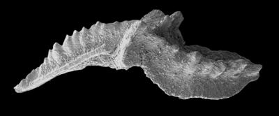 Lenodus variabilis (Sergeeva, 1963), GIT 594-60