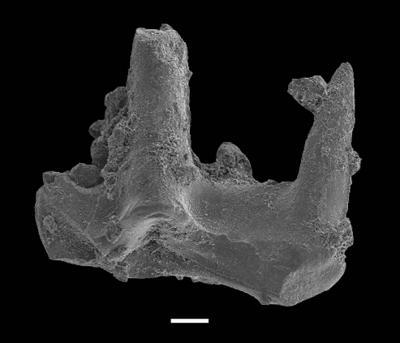 Ctenognathodus ssp., GIT 551-123