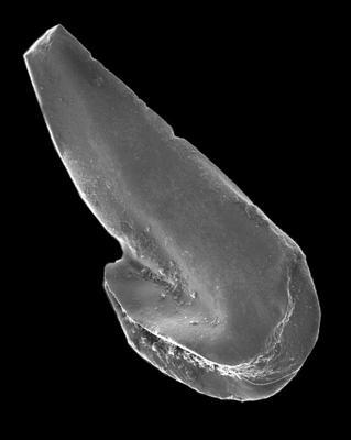Drepanoistodus basiovalis (Sergeeva, 1963), GIT 594-36
